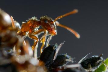 Symbiose von Braunen Wegameisen und Blattläusen © Holger Rüdel