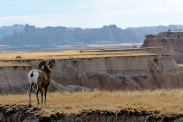 Dickhornschaf/Bighorn Sheep © Holger Rüdel