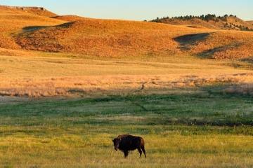 Bison im Custer State Park © Holger Rüdel