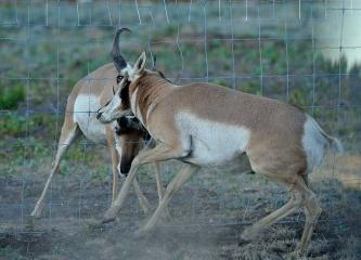 Gabelbock (Antilocapra americana)/Pronghorn © Holger Rüdel