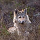 Wolf Blondie © Jim Brandenburg