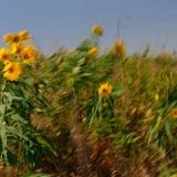 Blühende Prärie im Blue Mounds State Park © Holger Rüdel