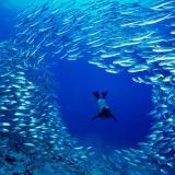 Galapagos sea lion blasts through a school of salema Cousins Roc © David Doubilet / Undersea Images, Inc.