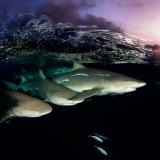 Lemon sharks on Patrol by David Doubilet © David Doubilet / Undersea Images, Inc.