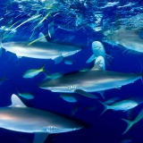 Silky Sharks Cuba © David Doubilet / Undersea Images, Inc.