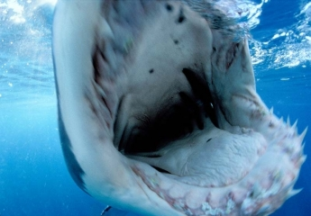Great white shark bite © David Doubilet / Undersea Images, Inc.