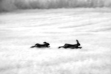 European Hares Chase © Jim Brandenburg
