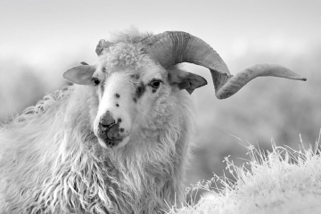 One Horned Sheep © Jim Brandenburg