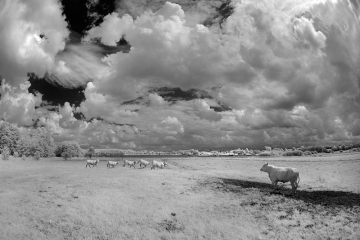 White Cows © Jim Brandenburg