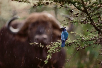Cape Buffalo and Glossy Starling © Jim Brandenburg, all rights