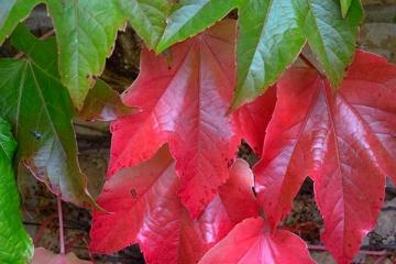 Herbstliches Blatt © Holger Rüdel
