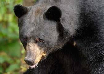 Schwarzbär im Vince Shute Wildlife Sanctuary in Orr, Minnesota (USA) © Holger Rüdel