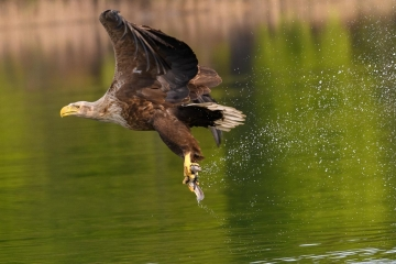 Seeadler im Abflug © Holger Rüdel