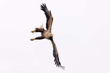 Seeadler im Anflug © Holger Rüdel