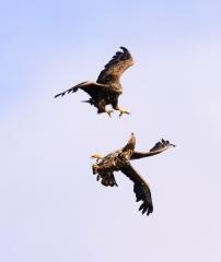 Seeadler im Luftkampf © Holger Rüdel
