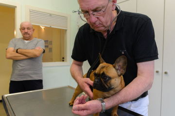 Französische Bulldogge in einer Tierarztpraxis © Holger Rüdel