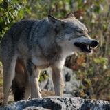 Grauer Wolf in Minnesota (USA) © Holger Rüdel