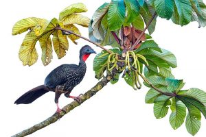 Crested Guan Penelope purpurascens perched in a tree backed agai