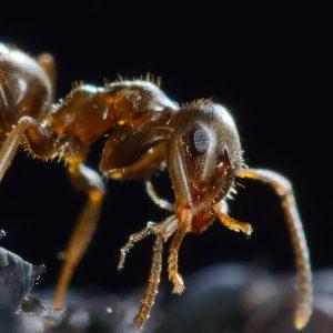 Die Braune Wegameise (Lasius brunneus) ernährt sich bevorzugt vom Honigtau der Blattläuse, die hier massenhaft eine Kugeldistel in einem Garten befallen haben. Blattläuse werden von den Ameisen wie Sklaven behandelt. Im Gegenzug verteidigen die Ameisen die Blattläuse gegen natürliche Feinde. In dieser Aufnahme hat eine Wegameise gerade Honigtau aus einer Blattlaus gesaugt.