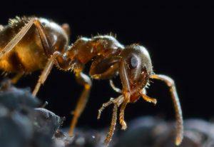Symbiose von Braunen Wegameisen und Blattläusen © Holger Rüde