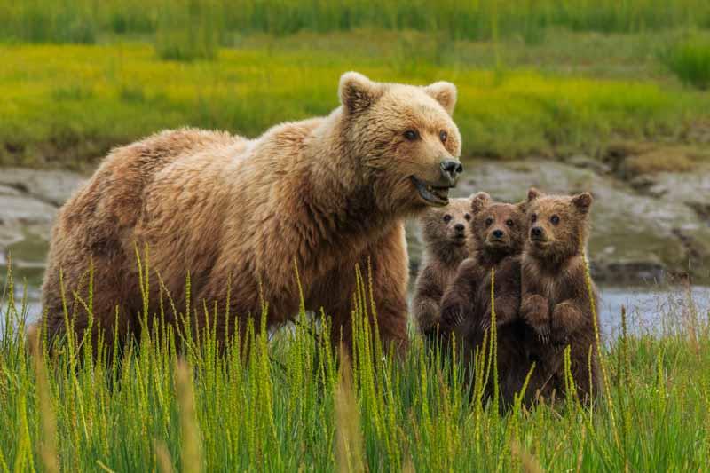Braunbärin mit Jungen in Alaska © Art Wolfe/ Art Wolfe Stock