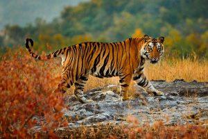 Königstiger, Bandhavgarh-Nationalpark, Madhya Pradesh, Indien