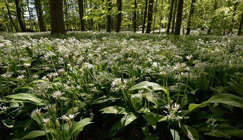 Blühender Bärlauch bildet im Wald von Kahleby im Mai einen dichten Teppich. © Holger Rüdel