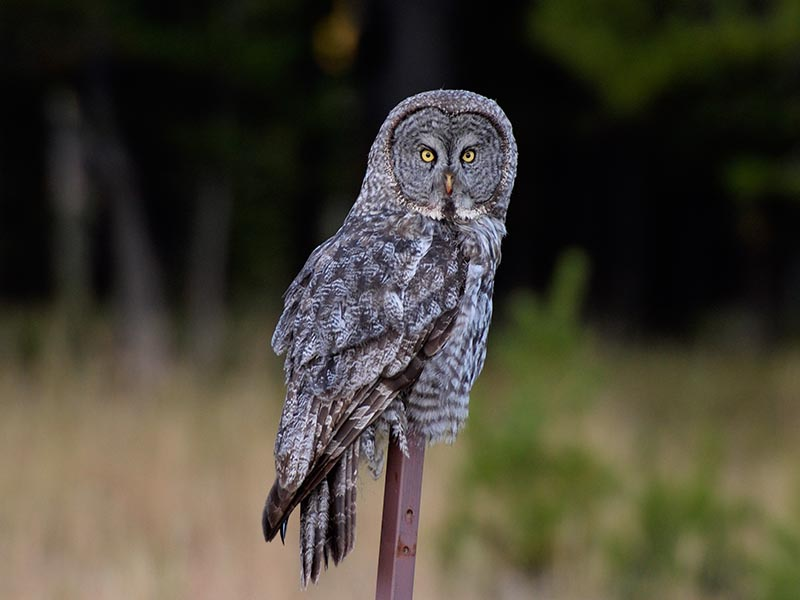 Bartkauz/Great Grey Owl © Holger Rüdel
