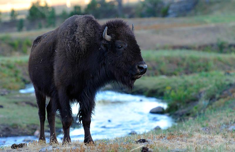 Bison im Custer State Park © Holger Rüdel www.holger-ruedel.de