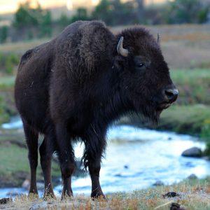 Der Amerikanische Bison (Bison bison), auch als Büffel bezeichnet, ist ein Tier der nordamerikanischen Prärien und Wälder. Im Custer State Park in den Black Hills von South Dakota (USA) leben etwa 1300 dieser im 19. Jahrhundert fast ausgerotteten mächtigen Rinder in freier Wildbahn.
