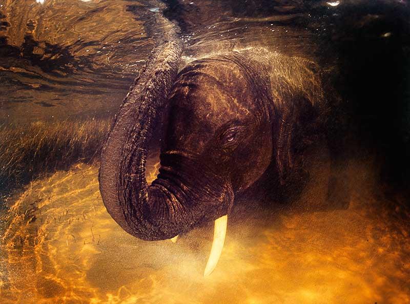 African elephant underwater © David Doubilet