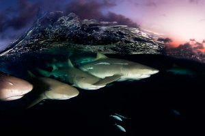 Lemon sharks on Patrol by David Doubilet © David Doubilet / Undersea Images, Inc.