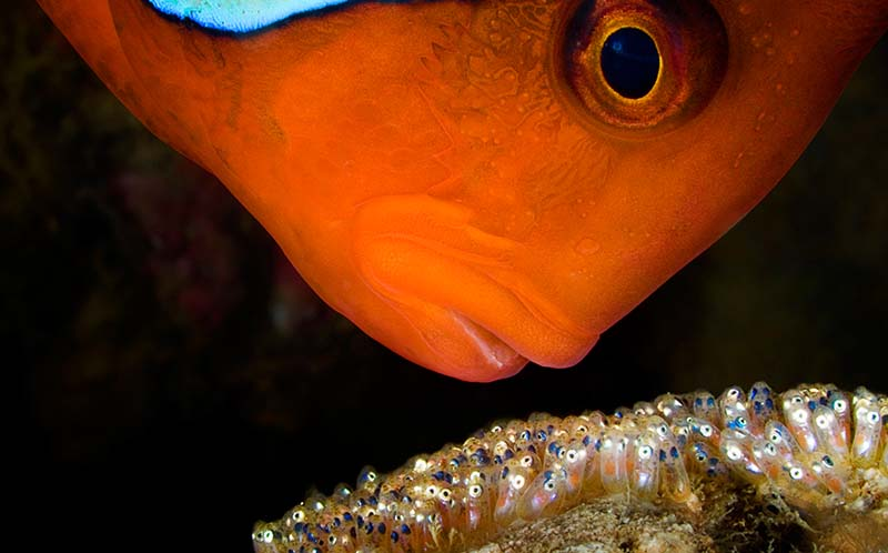 Male tomato clownfish guards his clutch of eggs © David Doubilet