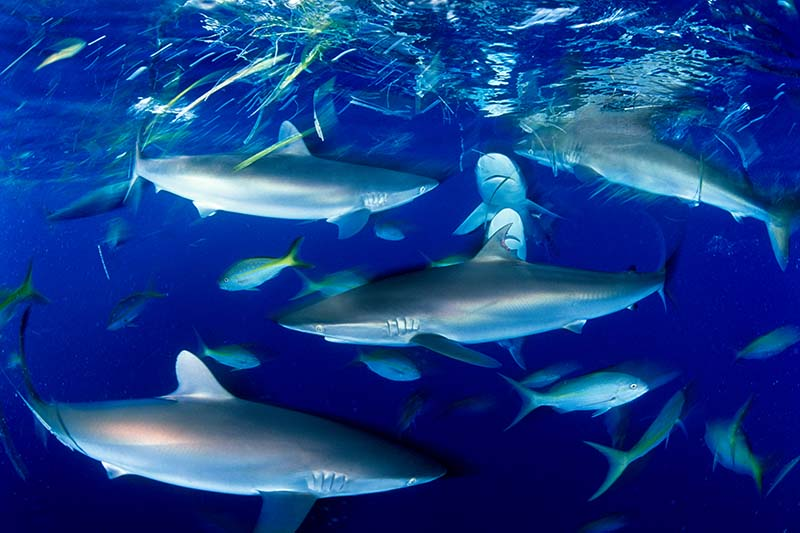 Silky Sharks Cuba © David Doubilet / Undersea Images, Inc.