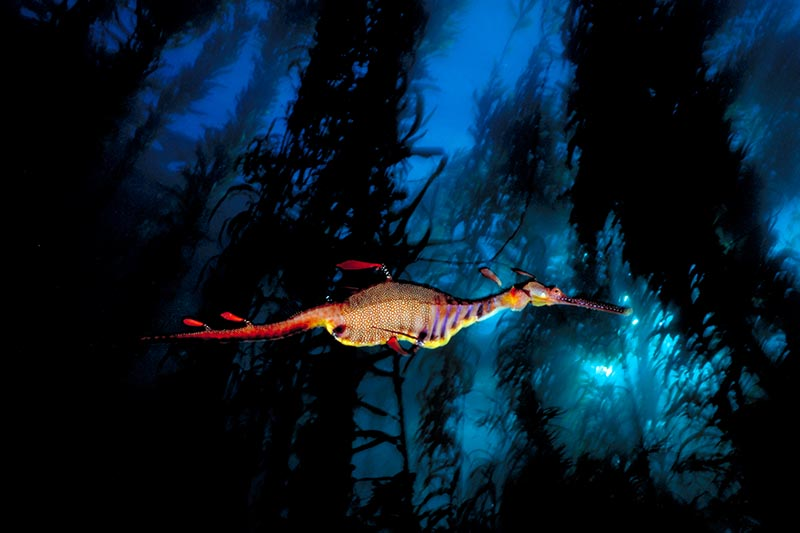 Weedy Sea Dragon Tasmania © David Doubilet / Undersea Images, Inc.