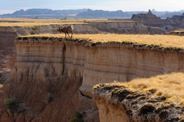 Männliches Dickhornschaf (Ovis canadensis)/Bighorn Sheep bei Interior im Badlands National Park in South Dakota (USA)