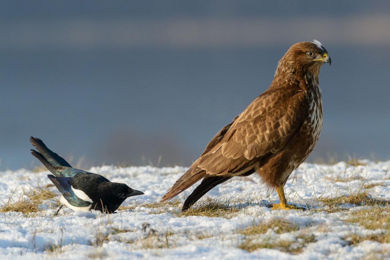 Wie David gegen Goliath: Immer wieder versuchte diese Elster, sich auf einer schneebedeckten Wiese an den viel größeren Greifvogel heranzupirschen und ihm Teile der Schwanzfedern auszuziehen.