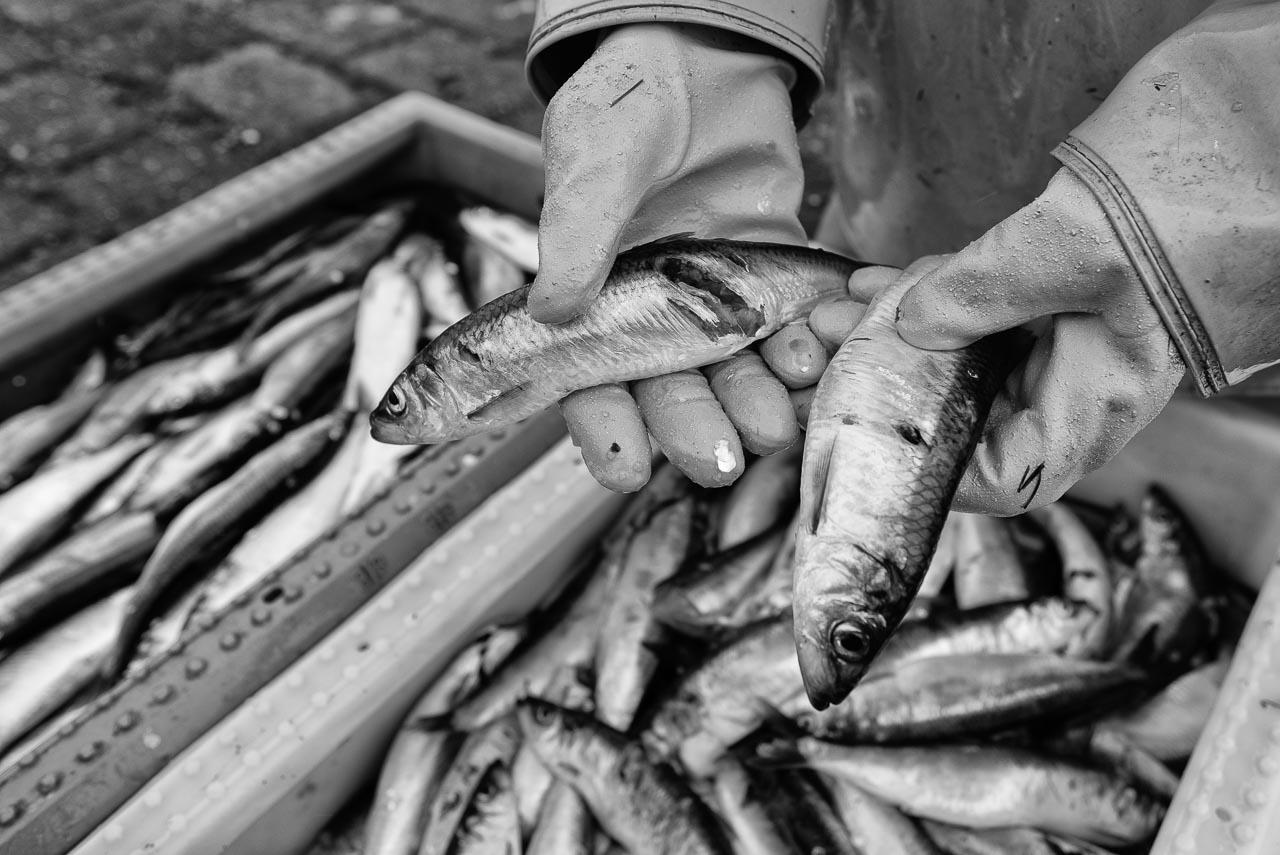 Matthias Nanz aus Schleswig ist einer der letzten Berufsfischer an der Schlei. Mit seinem Boot fährt er vom Liegeplatz in Missunde zu den Fanggründen in der Schlei. An diesem nasskalten Fangtag Anfang März gingen vor allem Heringe ins Netz. Viele davon waren aufgrund von Kormoran-Attacken verletzt und unverkäuflich.
