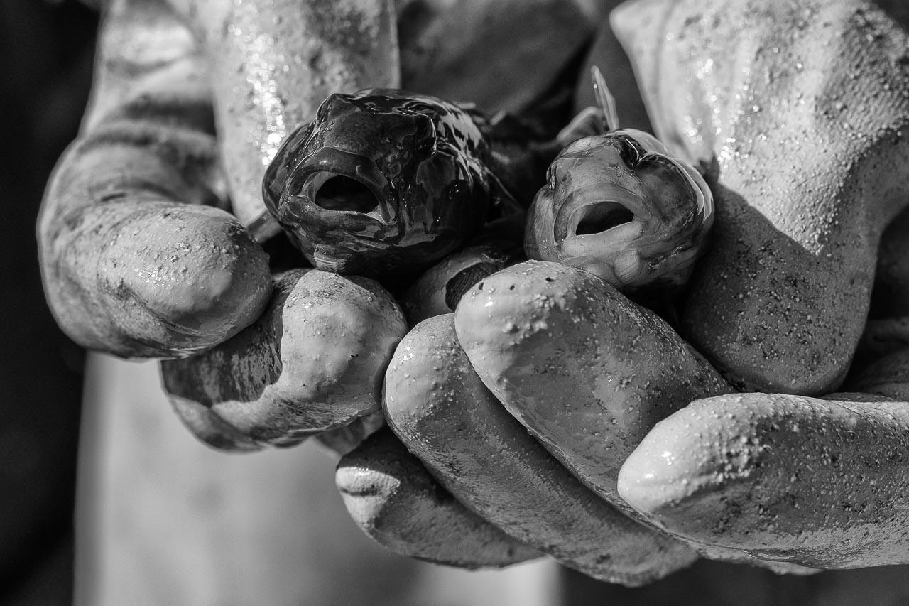 Hier hält der Schleifischer Matthias Nanz zwei frisch gefangene Schwarzmundgrundeln in seinen Händen. Die Schwarzmundgrundel ist eine invasive Fischart, die sich explosionsartig in Nord- und Ostsee sowie den verbundenen Gewässern ausgebreitet hat. Schwarzmundgrundeln treten gegenüber vielen heimischen Arten als Nahrungs- und Raumkonkurrent auf und bedrohen damit deren Existenz – auch in der Schlei.