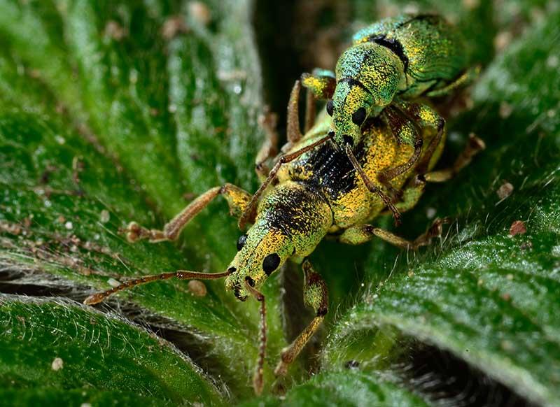 Grünrüssler (Phyllobius betulae), auch Grüne Rüsselkäfer genannt, bei der Paarung © Holger Rüdel