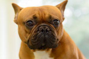 Französische Bulldogge in Tierarztpraxis © Holger Rüdel