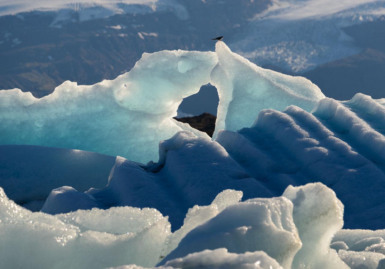 Jökulsárlón ist eine der berühmtesten Touristenattraktionen in Island und der Höhepunkt an der Südküste des Landes. Der Gletschersee vergrößert sich von Jahr zu Jahr und besitzt zurzeit eine Fläche von 18 km². An den Ufern lassen sich Küstenseeschwalben wie hier im Bild und Arktische Raubmöwen beobachten.