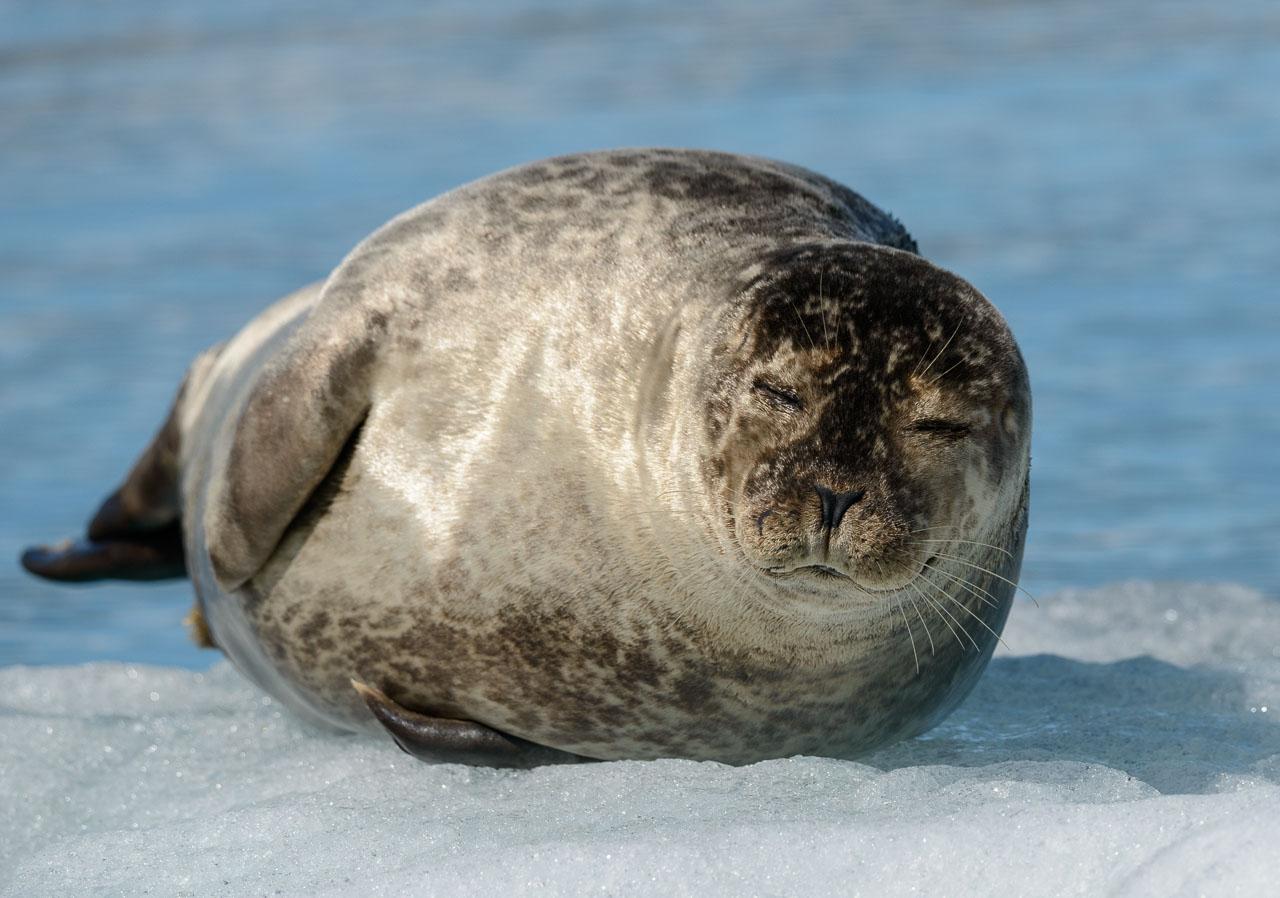 Im Winter tummeln sich hunderte Seehunde in der fischreichen Lagune. Aber auch im Sommer wie hier Ende Juni sind Robben zu entdecken.