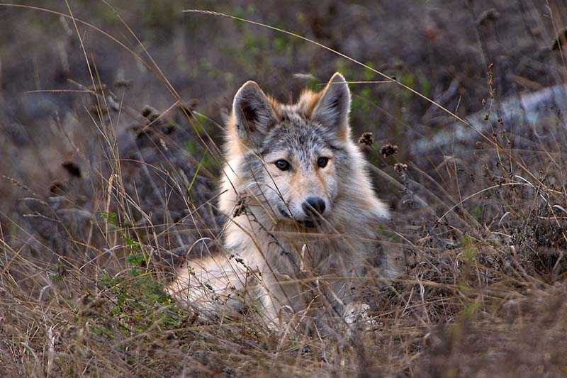 Wolf Blondie © Jim Brandenburg