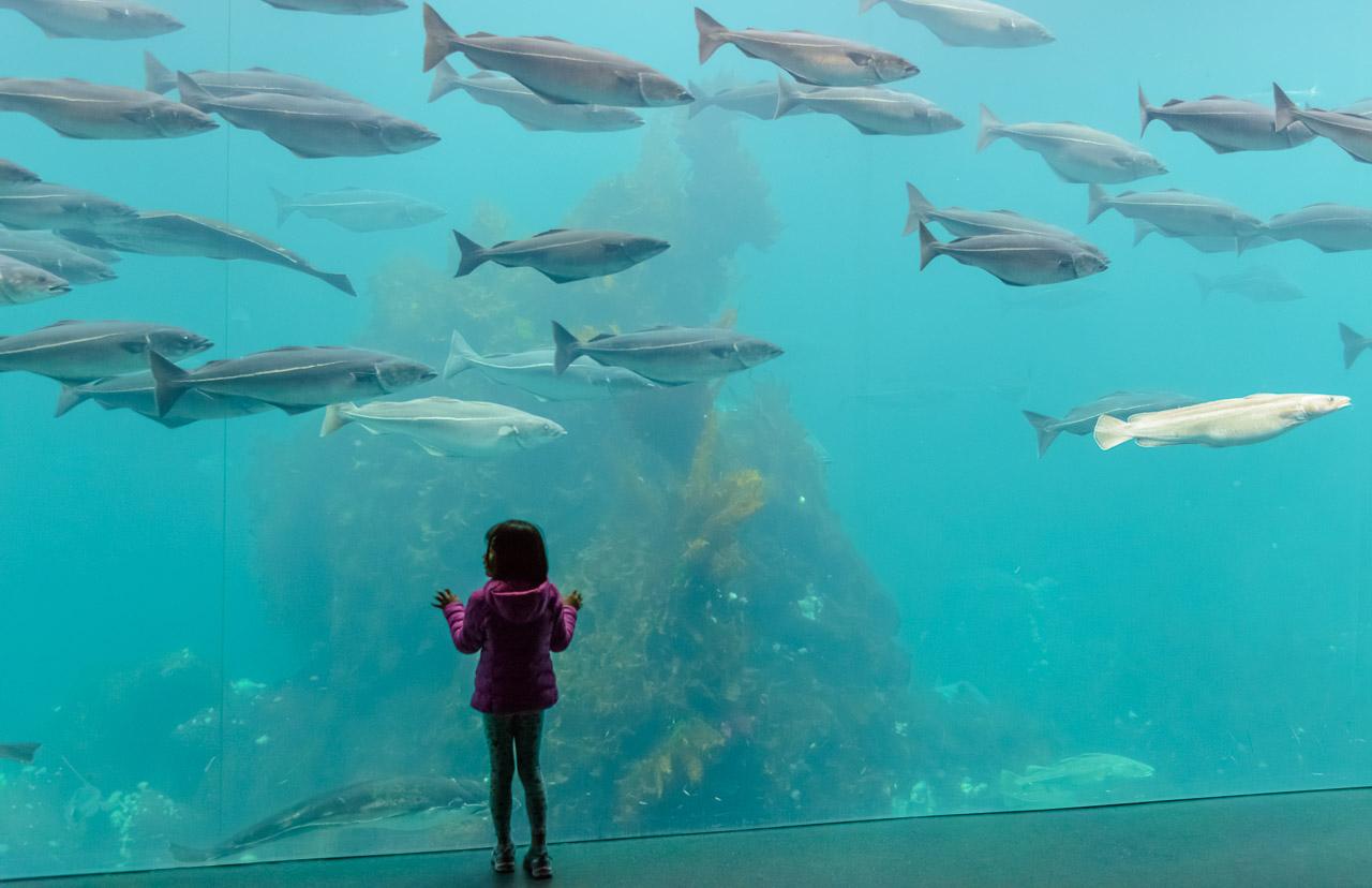 Der Atlantikpark, westlich der norwegischen Stadt Ålesund gelegen, ist eines der größten Salzwasser-Aquarien Nordeuropas. Die Meeresfische in den Becken beeindrucken vor allem Kinder wie dieses kleine Mädchen.