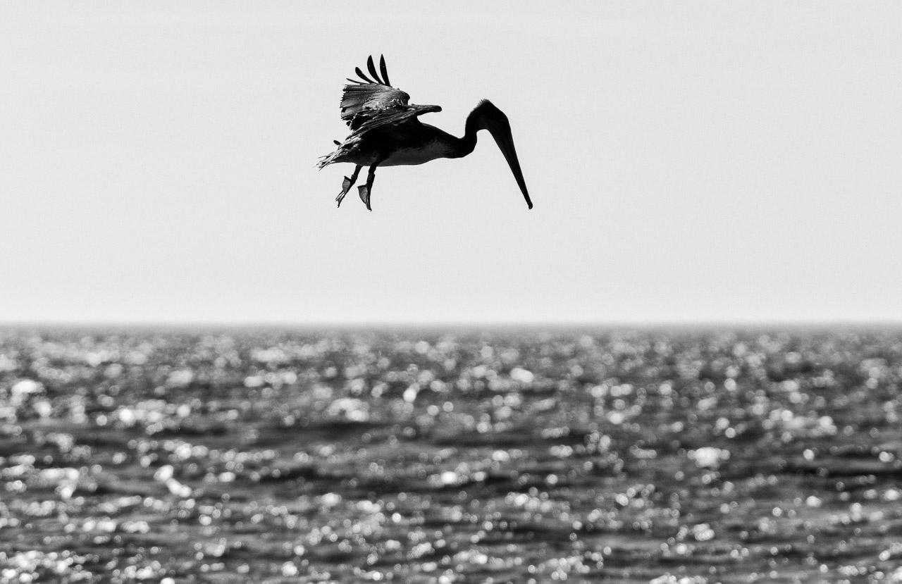 Ein Braunpelikan (Pelecanus occidentalis) im Suchflug nach Beute über dem Pazifik am Rialto Beach im Olympic National Park im Nordwesten der USA. Von insgesamt acht Pelikanarten ist der Braunpelikan neben dem Chilepelikan der einzige, der im Sturzflug ins Wasser taucht, um Fische zu erbeuten.