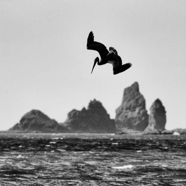 Ein Braunpelikan (Pelecanus occidentalis) im Sturzflug über dem Pazifik am Rialto Beach im Olympic National Park im Nordwesten der USA. Von insgesamt acht Pelikanarten ist der Braunpelikan neben dem Chilepelikan der einzige, der im Sturzflug ins Wasser taucht, um Fische zu erbeuten.