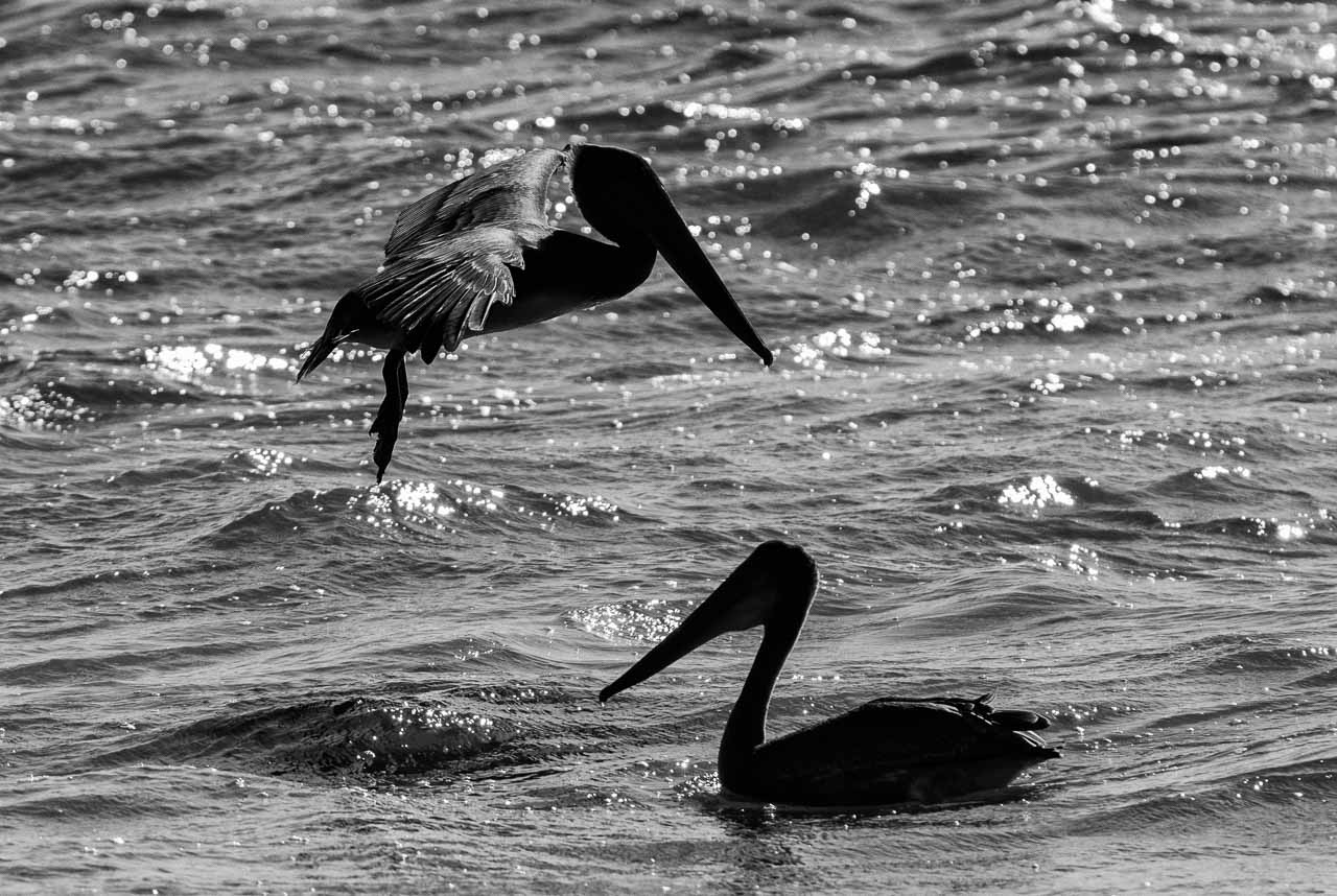 Braunpelikane (Pelecanus occidentalis) am Rialto Beach im Olympic National Park im Nordwesten der USA. Von insgesamt acht Pelikanarten ist der Braunpelikan neben dem Chilepelikan der einzige, der im Sturzflug ins Wasser taucht, um Fische zu erbeuten.