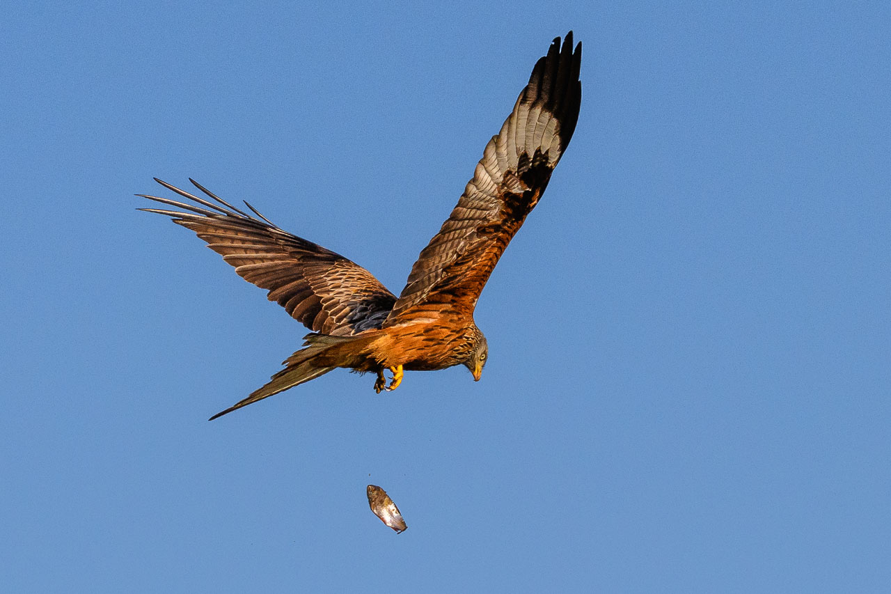 Ein Roter Milan (Milvus milvus) hat auf dem Breiten Luzin im Naturpark Feldberger Seenlandschaft ein Rotauge erbeutet und fliegt davon. Doch mitten im Flug entgleitet der Fisch dem Greifvogel.