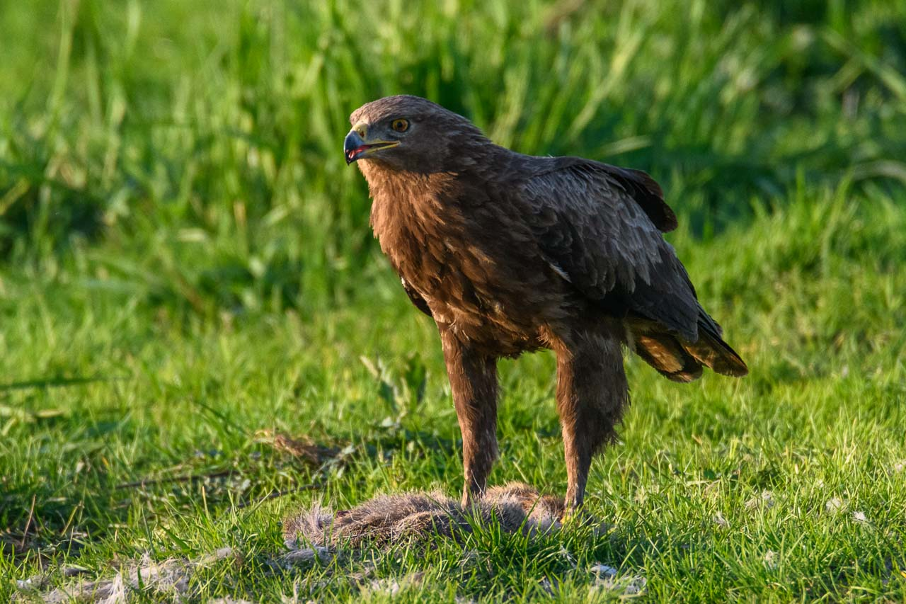 Der Schreiadler (Clanga pomarina), früher auch Pommernadler genannt, ist der kleinste Vertreter aus der Familie der Adler in Deutschland und ein Zugvogel, der im südlichen Afrika überwintert. Schreiadler sind in Deutschland vom Aussterben bedroht. Es gibt nur noch 100 brütende Paare. Die Aufnahme entstand im Naturpark Feldberger Seenlandschaft in Mecklenburg-Vorpommern.